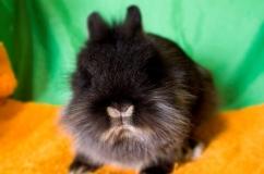 Львиноголовый кролик черного окраса