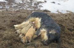 Свинья мангалица с поросятами