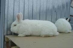 Два белых новозеландских кролика