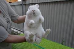 Как держать кролика для определения его пола