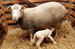 Овца и ягненок