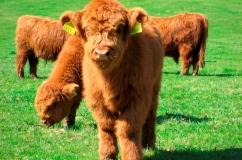 Теленок плюшевой коровы.