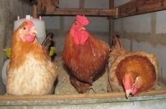 Полтавская глинистая порода кур