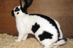 Породный кролик бабочка на фото
