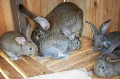 Порода кроликов Ризен: описание, разведение и характеристика породы с фотографиями