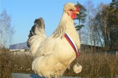 Порода кур русская хохлатая