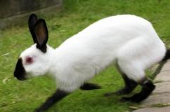 Русский горностаевый кролик