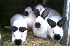 Кролики горностаевые