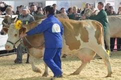 Сычевская корова на выставке