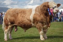 Красивый бык породы КРС Симментальская