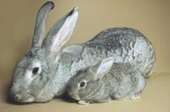 Кролик с крольченком