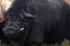 Черный хряк породы Кармал