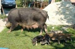 Свинья породы Кармал с поросятами