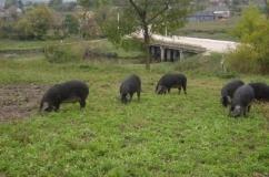 Свинки породы Мангал на выпасе