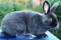 Голубой кролик