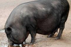 Порода свиней вьетнамская вислобрюхая