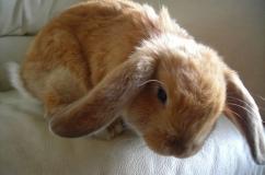 Кролик с ушами