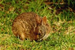 Водяной кролик на траве