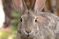 Мордочка водяного кролика