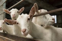 Зааненские козы описание породы