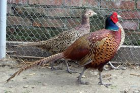 Степной охотничий фазан