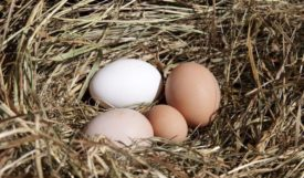 возраст яйценоскости для различных пород кур
