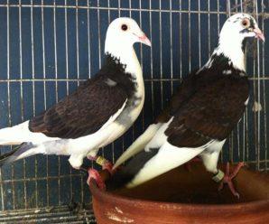 Спортивные голуби: разведение, тренировки и участие в соревнованиях