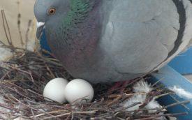 Процесс инкубации голубиных яиц