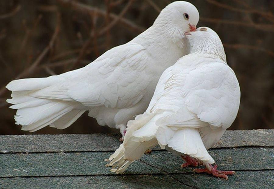 Способы разведения голубей