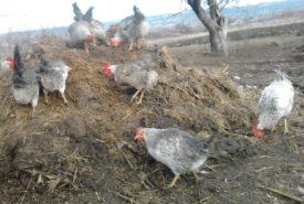 Содержание борковских кур