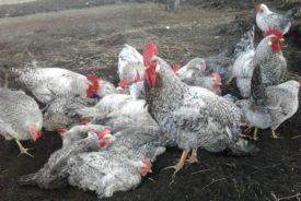 Борковская Барвистая порода кур