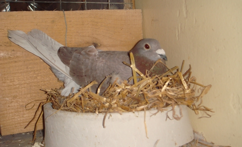 Подготовка к гнездованию