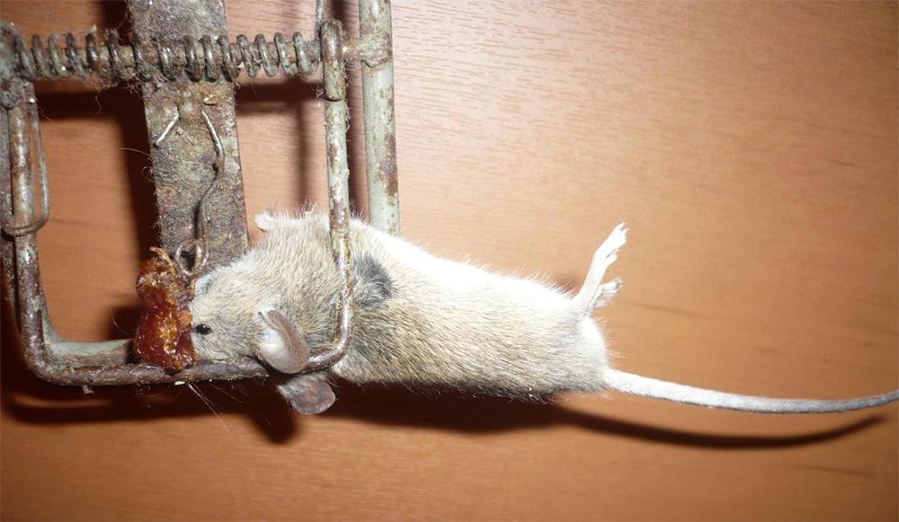 Мышеловка с мышкой