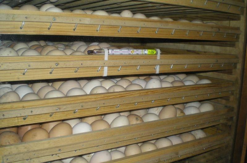 Как хранить яйца до инкубации