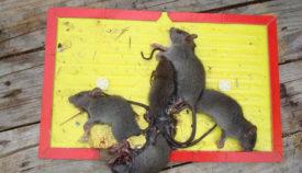 Клеевые ловушки для крыс
