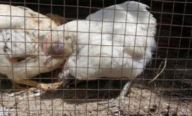 Курица больная