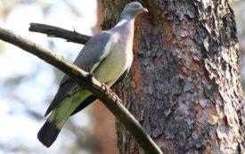 Места обитания голубей