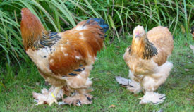 Палевая Брама курица и петух
