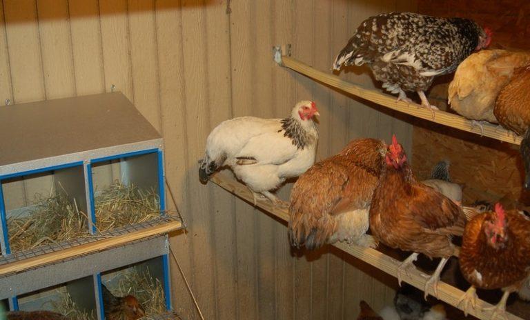 Содержание куриц несушек в домашних условиях 125