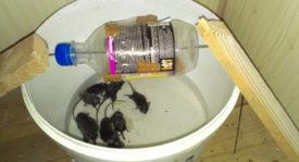 Самодельная ловушка для мышей и крыс