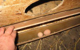 Что делать если курица клюет яйца