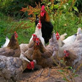 Сколько куриц необходимо одному петуху
