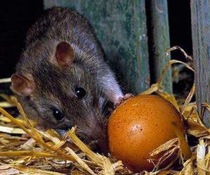 Эффективные методы избавления от крыс в курятнике