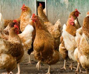 Кубанская Красная несушка – популярная порода кур в России