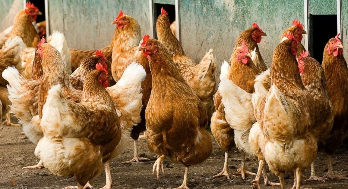 Кубанская Красная порода кур