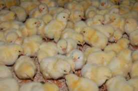 Уход за цыплятами до 1 месяца