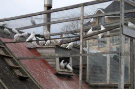 Домашнее разведение голубей