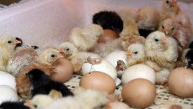 Цыплята вылупились в инкубаторе