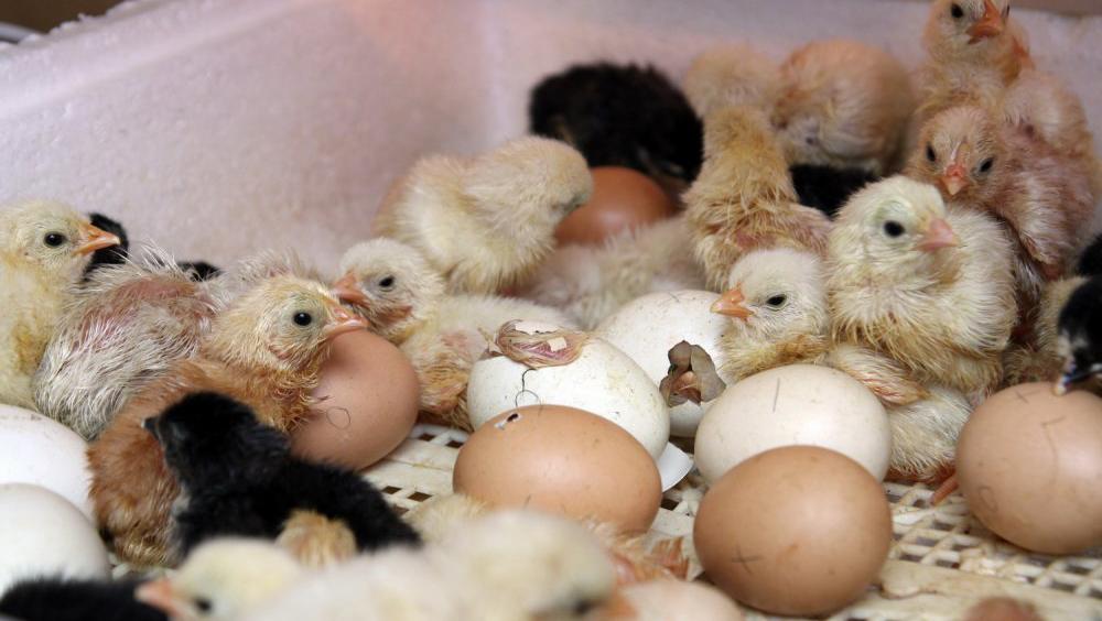 Закладка яиц в инкубатор в домашних условиях: какие яйца, как закладывать и как проверить на зародок
