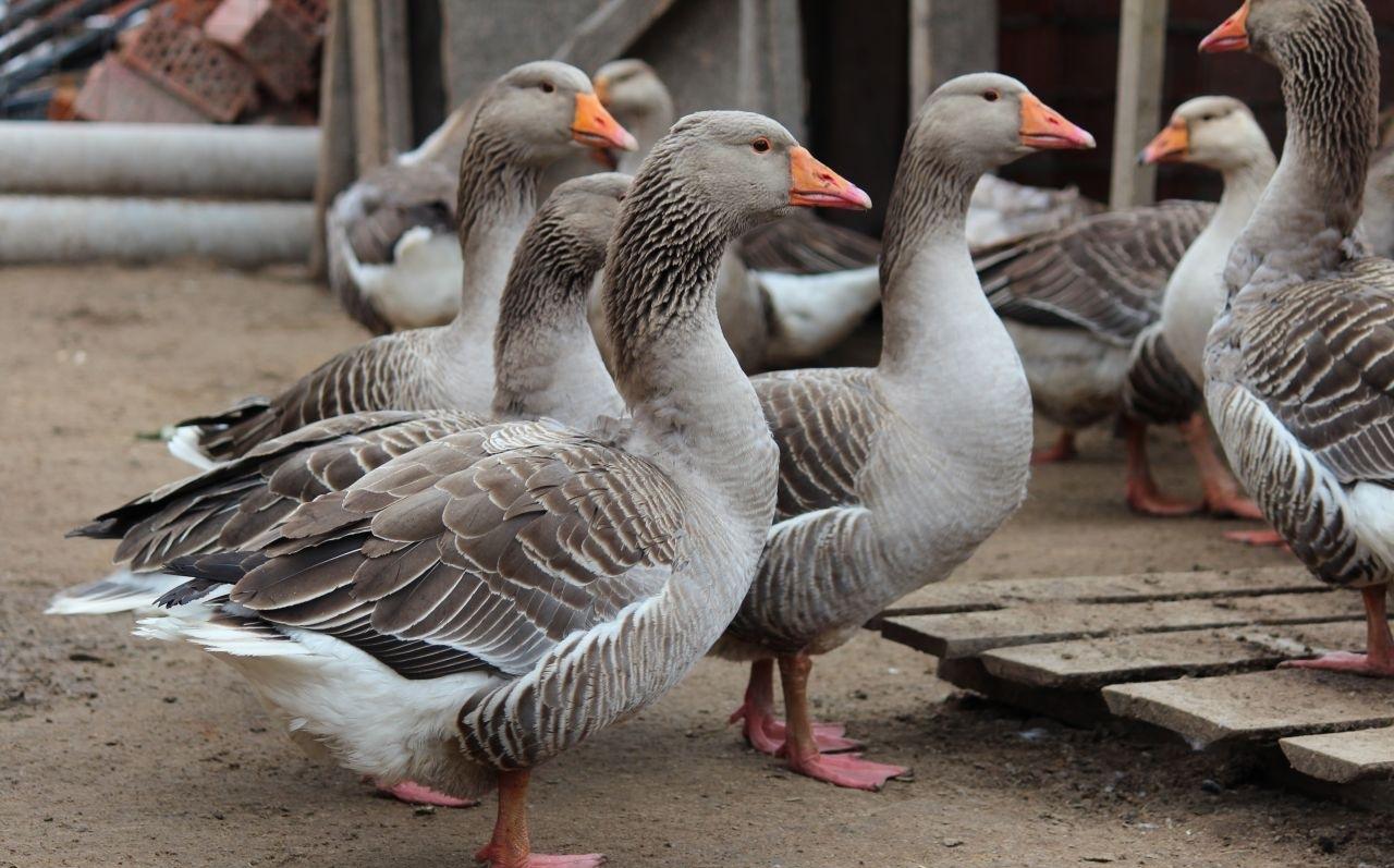 Правила кормления серых гусей